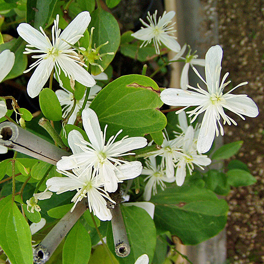 clematis flammula duftende clematis f r den garten native plants. Black Bedroom Furniture Sets. Home Design Ideas