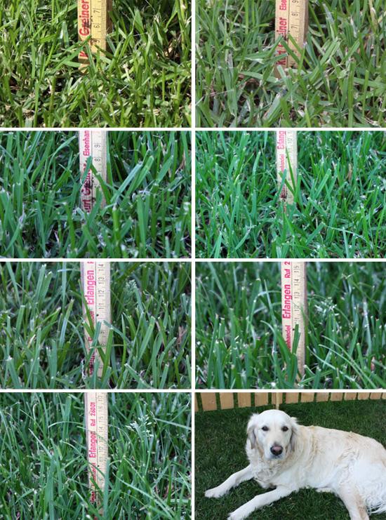 Wie schnell der Rasen wächst