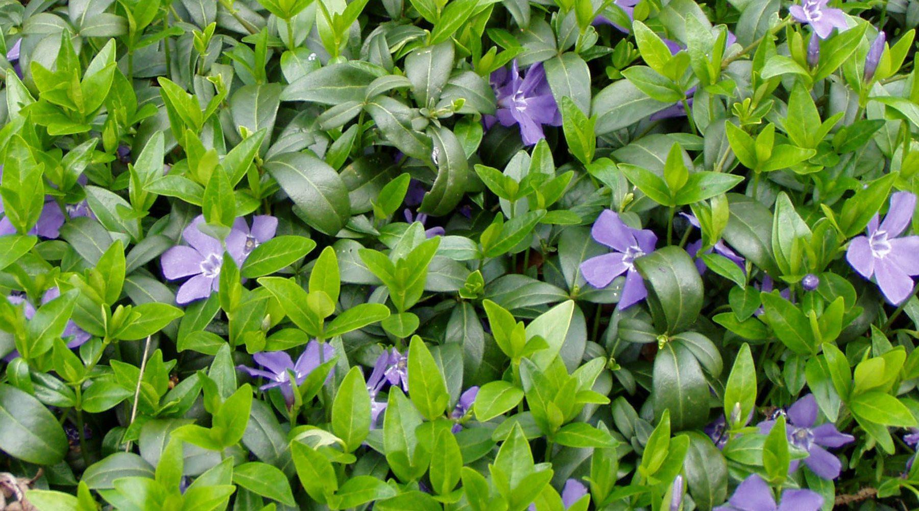 Walnuss   Unterbepflanzung   Native Plants Gartenblog