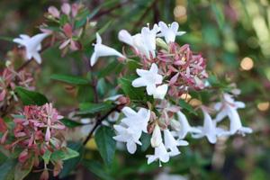 Abelie - schönes Blütengehölz für die Kübelbepflanzung