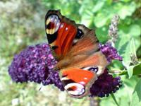 Schmetterling mit Schmetterlingflieder Sommerflieder