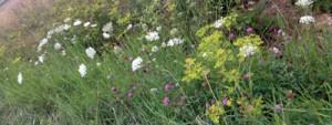 Blumenwiese-Naturgarten-1