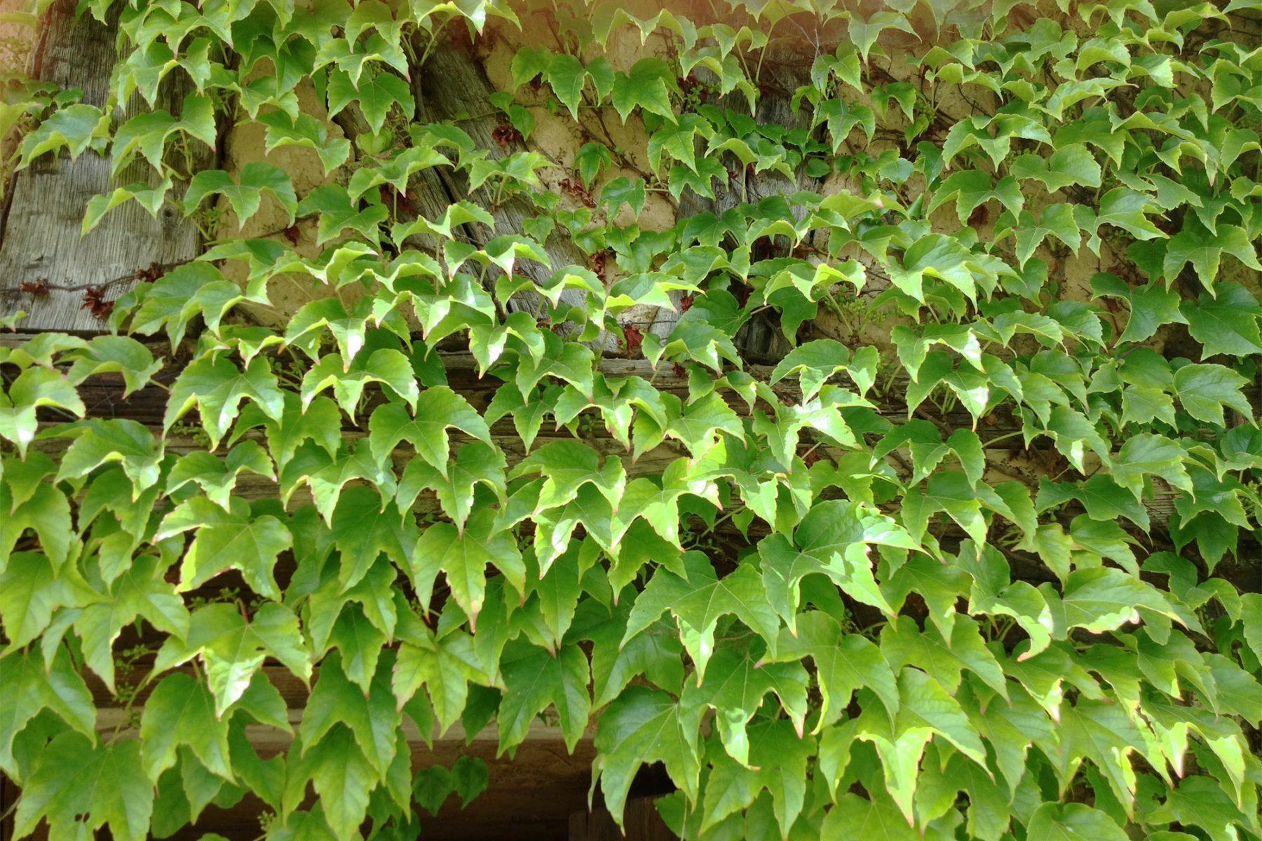 Wilder Wein Starkwachsende Kletterpfanze Native Plants Gartenblog