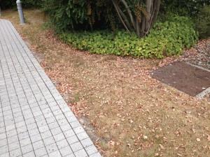 Bilder wie im Spätsommer/Herbst - vorzeitiger Laubfall bei der Felsenbirne und trockener Rasen