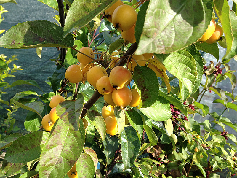 Zierapfel Golden Hornet Früchte im Herbst
