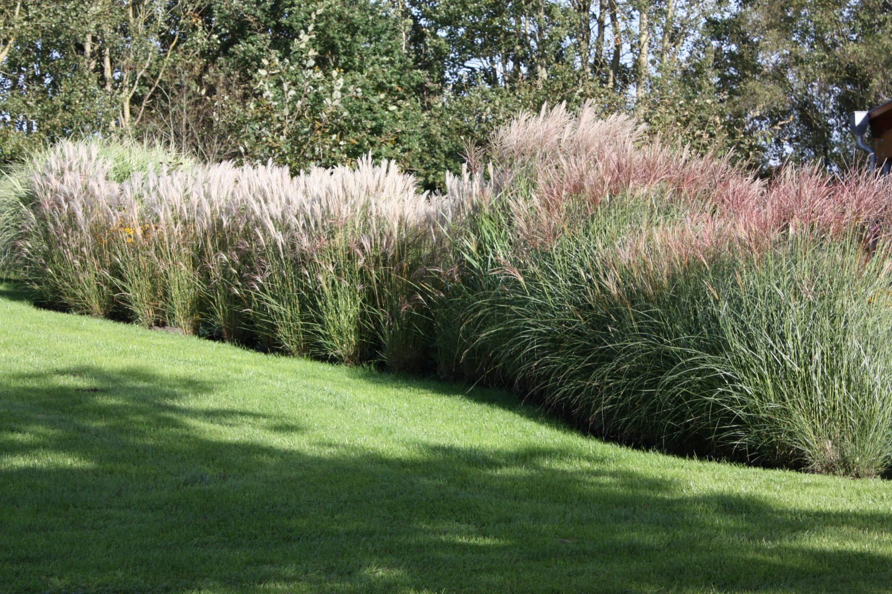 Chinaschilf Miscanthus Im Garten Native Plants Gartenblog