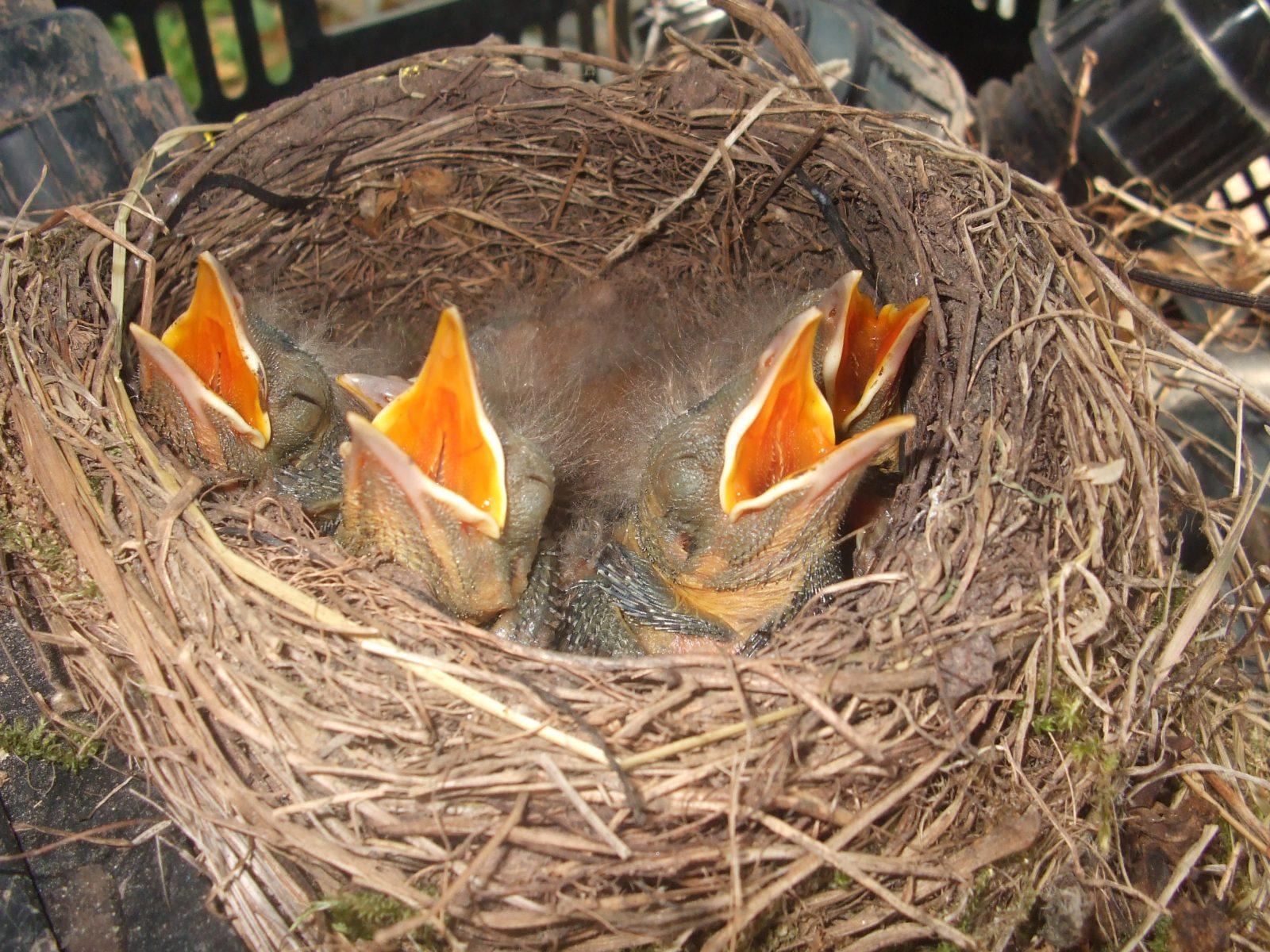 Jung Amseln im Nest