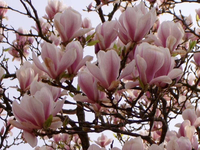 Tulpenmagnolie Pflanzenverand