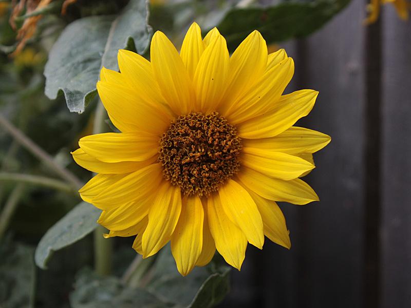 Sonnenblume-web