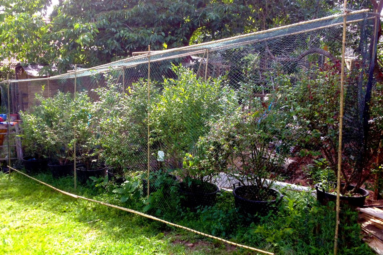 Leckere Früchte einfach vor Vogelfrass schützen