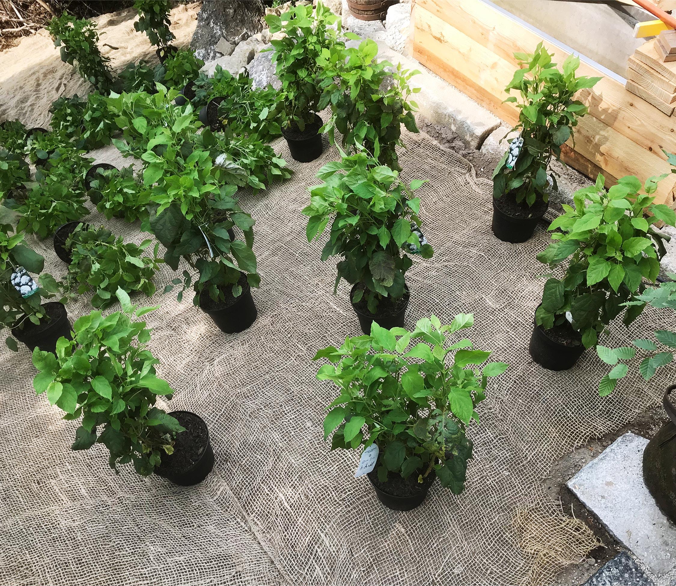Hangbepflanzung mit Böschungsgewebe und Hortensien