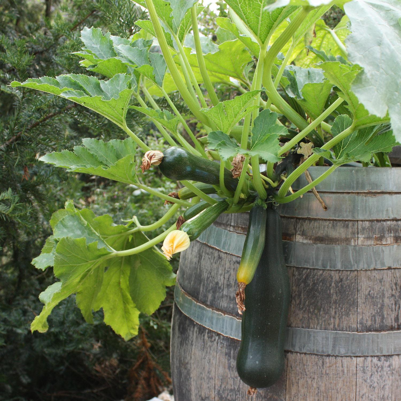 Zucchini im Barikfass gereift