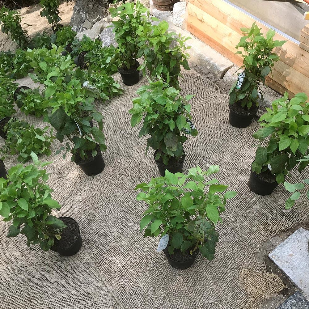 Ausstellen der Pflanzen auf dem Böschungsgewebe vor der Pflanzung