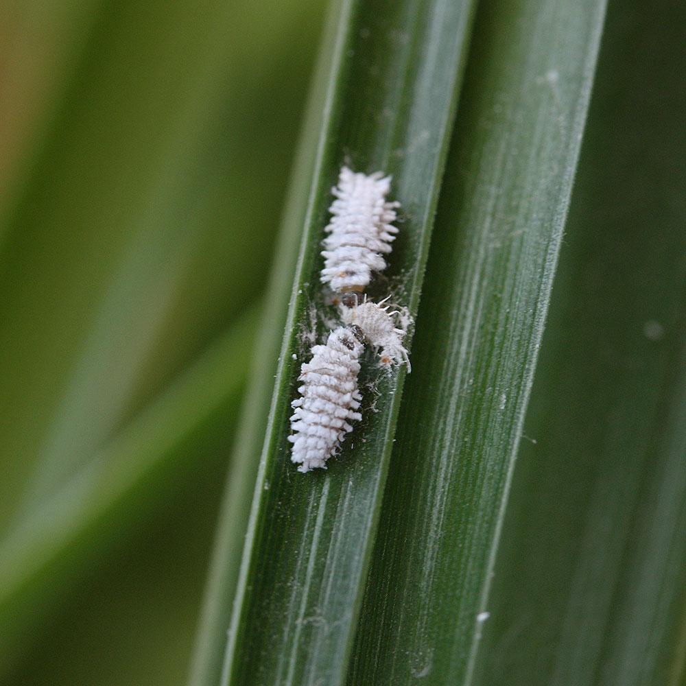2 Australische Marienkäferlarven beim Fressen