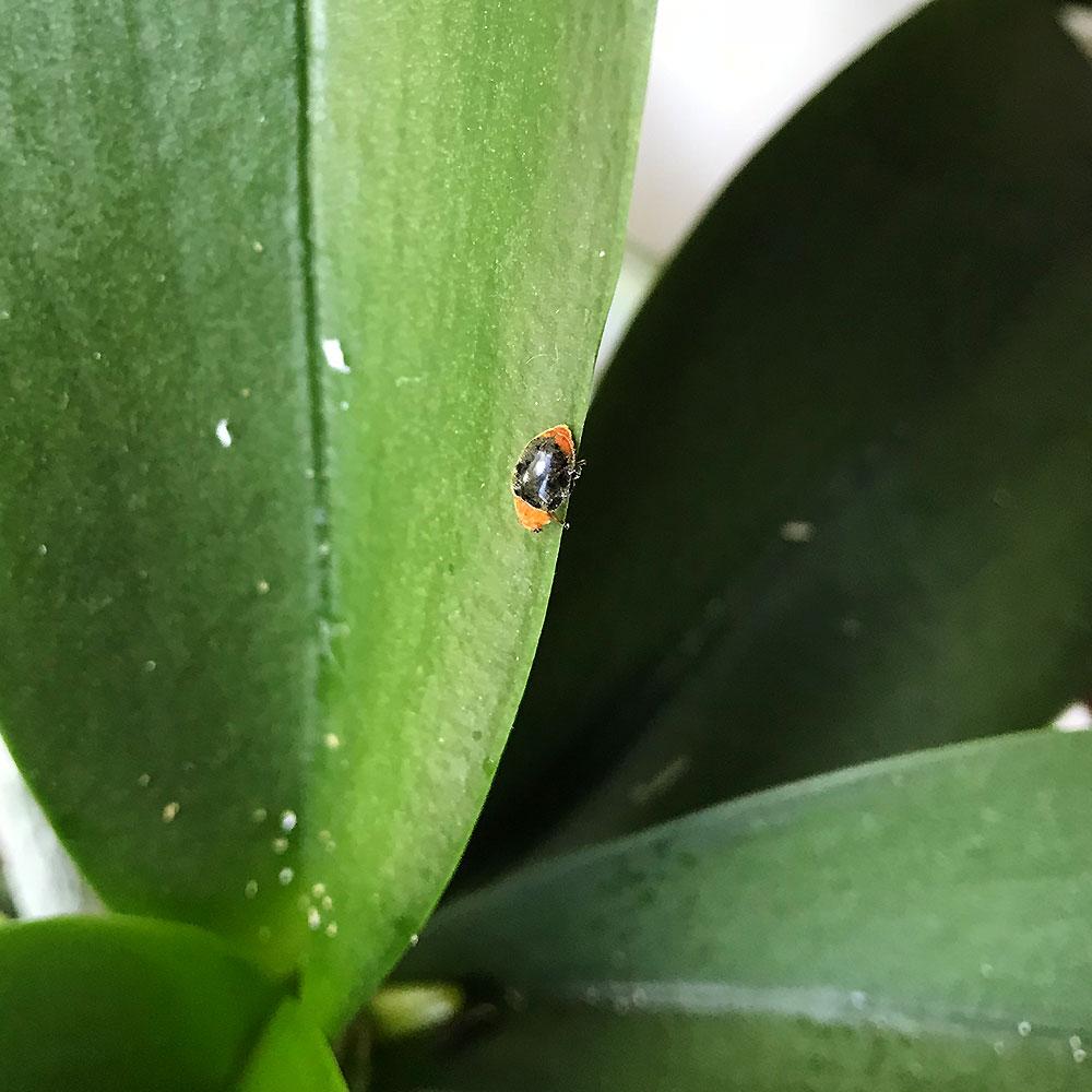 Ausgewachsener Australischer Marienkäfer