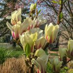 kleinbleibende Magnolie 'Sunrise'