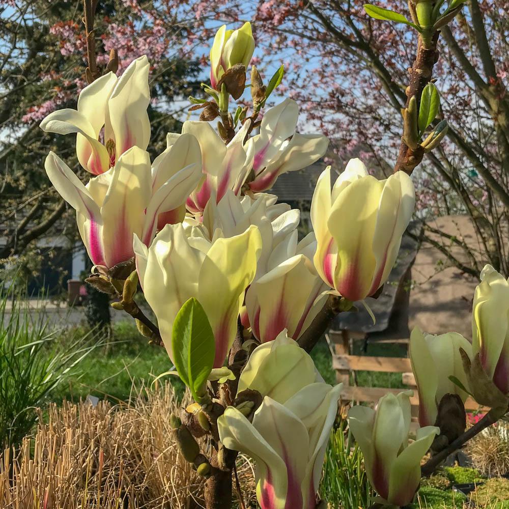 Magnolien für den Garten und Balkon