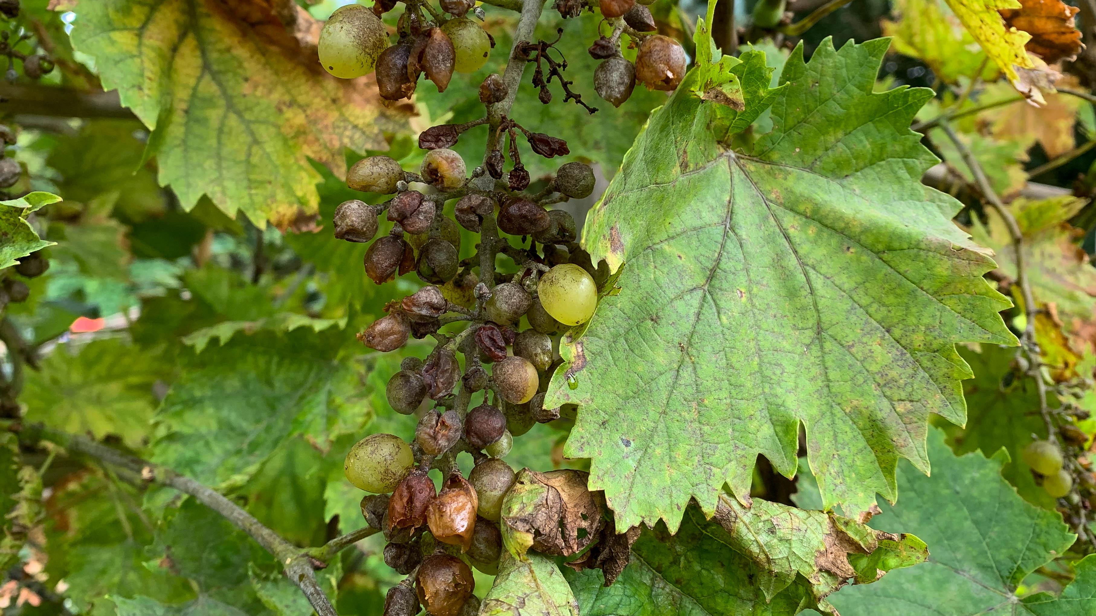 Mehltau an Weinreben