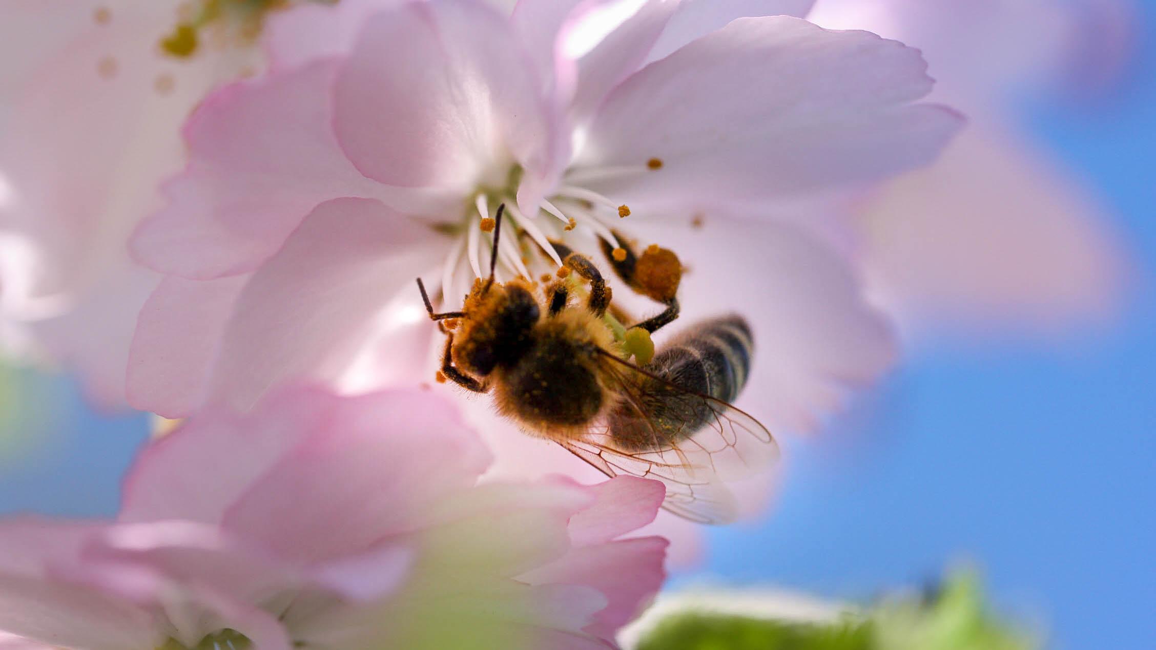 Bienenpflanzen: Diesen 11 Stauden und Gehölzen kann keine Biene widerstehen