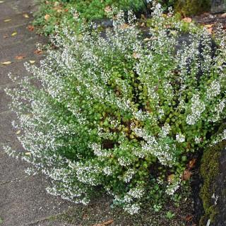 Steinquendel, Calaminta, Blütenstaude