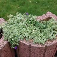 Blaukissen Silberrand, Aubrieta, Frühjahrsblüher, Steingarten