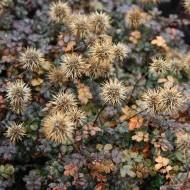 Stachelnüsschen, Bodendecker, wintergrün,
