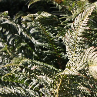 Glanzschildfarn, Farn, Schattenpflanze