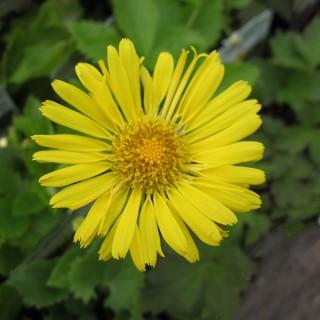 Gemswurz, Blütenpflanze