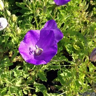 Karpaten Glockenblume Blaue Clips, Sommerblüher