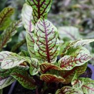 Blutampfer, Kräuterpflanze, Salat