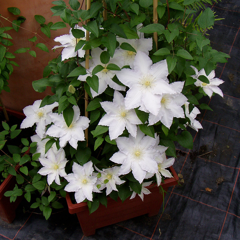 clematis 39 madame le coultre 39 native plants. Black Bedroom Furniture Sets. Home Design Ideas