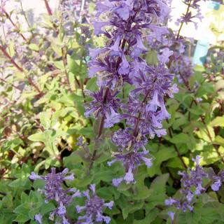 Katzenminze, Duftpflanze, Bienenweide