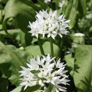 Bärlauch, Allium, Gewürz