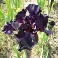 Hohe Bartiris Night Owl, Iris, Blütenpflanze