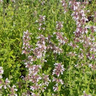 Katzenminze Dawn to Dusk, Nepeta, Bienenweide, Blütenpfanze