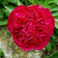 Pfingstrose, Blütenstaude, Schnittblume