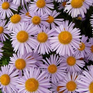 Frühlingsaster Wartburgstern, Aster, Frühlingsblüher
