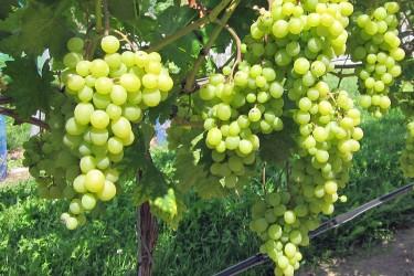 Weinreben für Garten und Topf