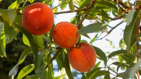 Pfirsichbaum pflanzen und pflegen