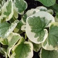 Kaukasus Vergissmeinnicht, Blattschmuckstaude, Schattenpflanze