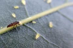 Marienkäferlarven gegen Blattläuse