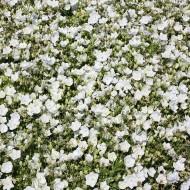 Karpaten Glockenblume Weiße Clips, Sommerblüher