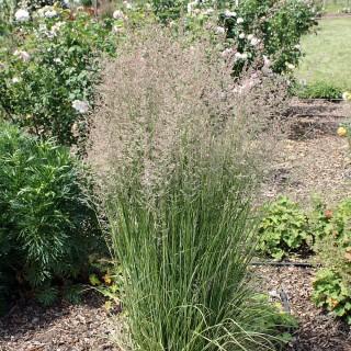 Gestreiftes Reitgras, Calamagrostis Overdam, Ziergras
