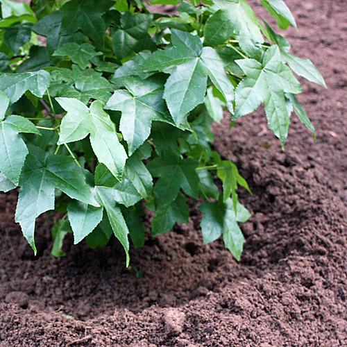 Gehoelz-pflanzen-b