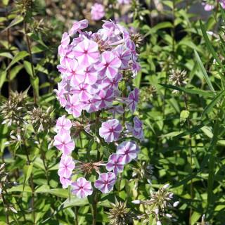 Wiesenphlox Natascha, Phlox, Blütenstaude