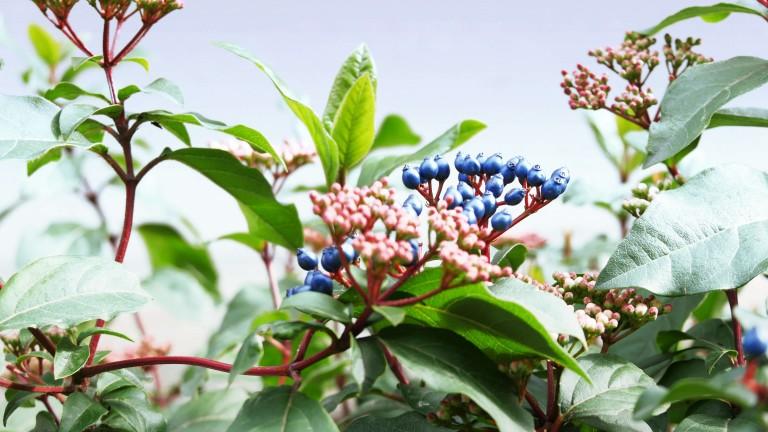 Beerenstarke Sträucher, Büsche und Bäume