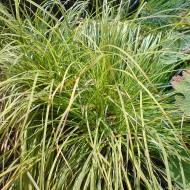 Bergsegge, Carex montana, Ziergras