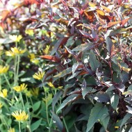 Wasserdost Chocolate, Eupatorium, Beetpflanze