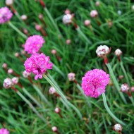 Grasnelke, Nelke, Grasähnliches Blatt, Steingarten