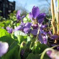 Duft Veilchen Königing Charlotte, Viola, Duftpflanze